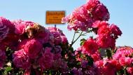 Rosiger Empfang: An Straßen und auf den Feldern rund um Steinfurth gedeiht die Königin der Blumen.