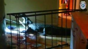 Was tun, wenn ein Alligator im Haus randaliert?