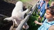 Annäherungsversuche: Schüler einer Klasse aus Bad Vilbel nähern sich zögerlich den Tieren auf dem Bauernhof, zu dem ein Kinderhotel gehört.
