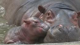 Zoo freut sich über Nilpferd-Nachwuchs