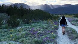 Kalifornische Wüste verwandelt sich in Blütenmeer