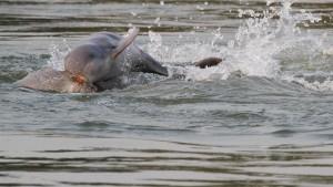 Endlich wieder mehr Delfine im Mekong