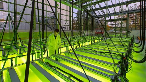 Plankton als Energieträger: Warten auf die Algenblüte