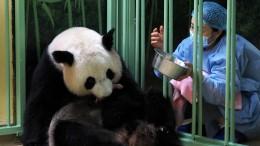 Panda-Zwillinge in französischem Zoo geboren