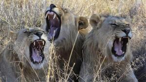 Drei mutmaßliche Wilderer von Löwen gefressen