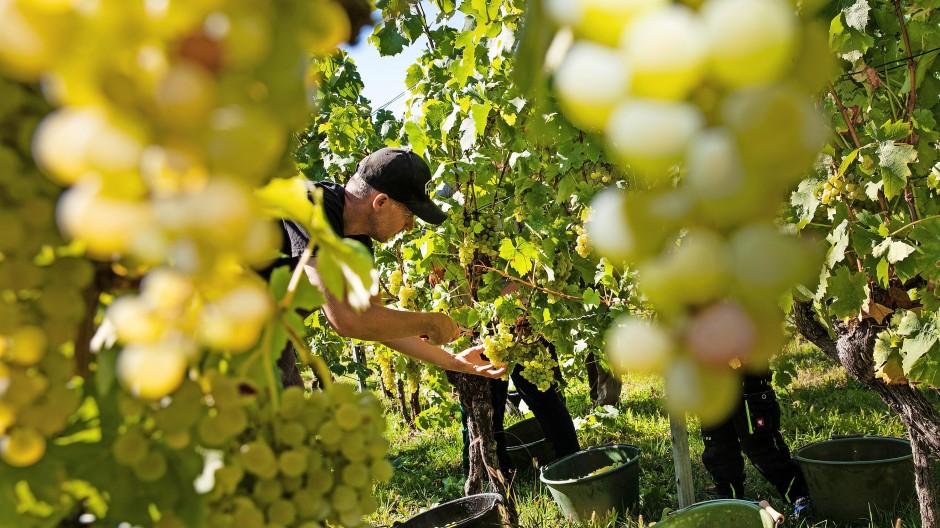 Die Zeit am Rebstock ist vorbei:   Ein Erntehelfer erntet reife Trauben von einer Weinrebe.