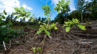 Auf einer Versuchsfläche hat Hessenforst Traubeneichen angepflanzt - die kommen mit der Hitze gut zurecht.