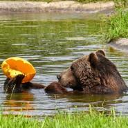 Immer schön abkühlen: Bär Balou entspannt sich im Wasser.