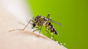 Tigermücke überträgt erstmals Chikungunya-Virus in Spanien