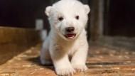 Eisbärchen im Berliner Tierpark ist ein Junge