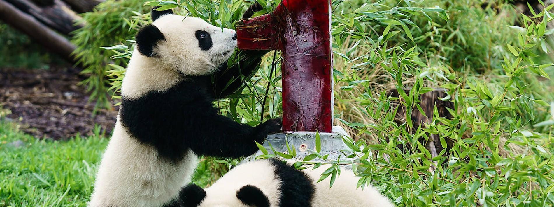 Pandas Pit und Paule feiern ersten Geburtstag