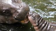 Zwergflusspferd-Nachwuchs verzückt Zoobesucher