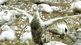 Vogelgrippe macht Franzosen zu schaffen