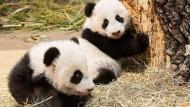 Panda-Zwillinge zeigen sich den Besuchern