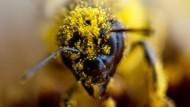 Bestäubt: Biene bei der Arbeit