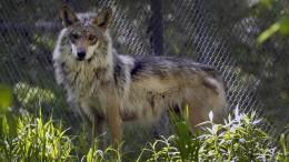 Zwei Wölfe gleichzeitig in Nordosthessen nachgewiesen