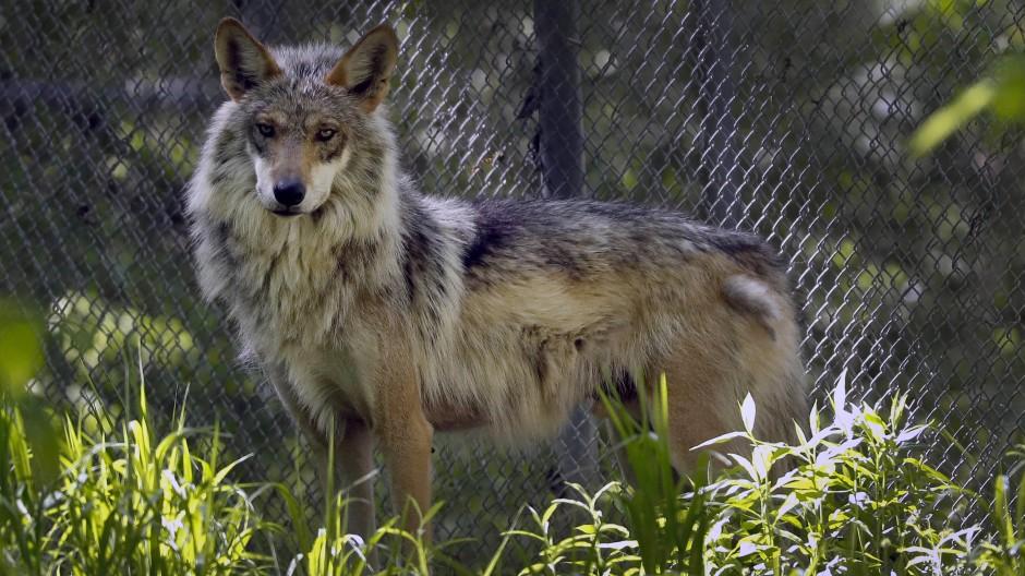 Gesichtet: Zwei Wölfe sind gleichzeitig im Kreis Hersfeld-Rotenburg aufgetaucht
