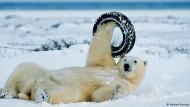 Mit dem Eisbärenfotografen auf Motivsuche im ewigen Eis
