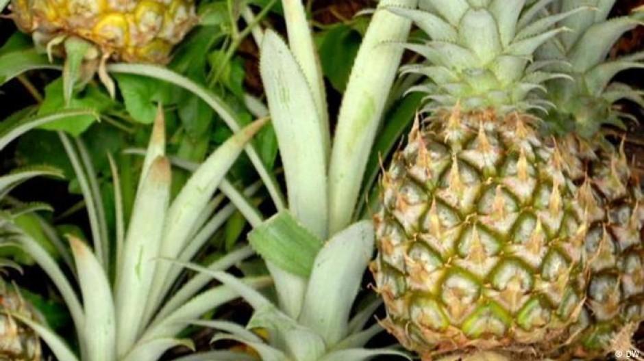 Modedesign aus Ananas
