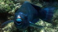 Rettet ein grasender Fisch Brasiliens Küste?