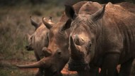 Nashornschutz mit Waffengewalt