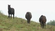 Kleine Bergpferde vor dem Aussterben gerettet