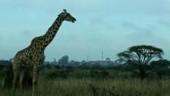 Wildtierparadies am Rande von Nairobi in Gefahr