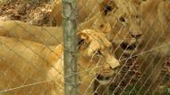 Drei Löwen als Signal der Hoffnung
