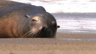 Rettung für gestrandete Seelöwen