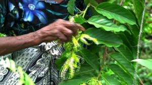 Die Heimat der Ylang-Ylang-Pflanze