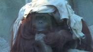 Argentinien streitet über Zoo-Affen Sandra