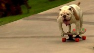 Bulldogge Otto skatet ins Guinness-Buch