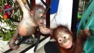Orang-Utan-Baby findet neuen Freund