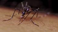 WHO schlägt wegen Zika-Virus Alarm