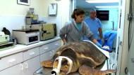 Meeresschildkröten mit Tumoren in Klinik