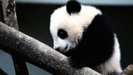 Zoo in Malaysia präsentiert Panda-Junges