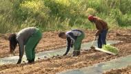 Häftlinge bauen Gemüse für bedürftige Menschen an