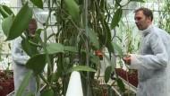 Niederländer holen exotische Gewürze in ihre Gewächshäuser