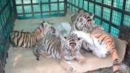 Traumatisierte Tiger-Babys kuscheln mit Plüsch-Mama