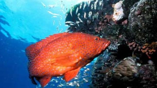 Pistolenschüsse im Korallenriff