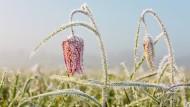 Diese Schachbrettblume wurde vom Frost überrascht. Macht aber nichts, wenn die oberen Teile absterben, in der Knolle geht das Leben weiter.