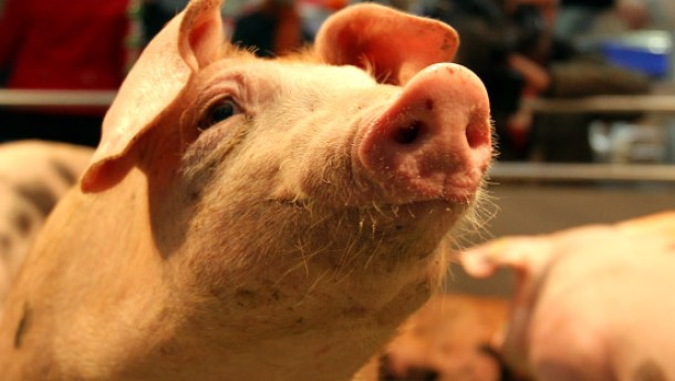 Grüne Woche-Schwein