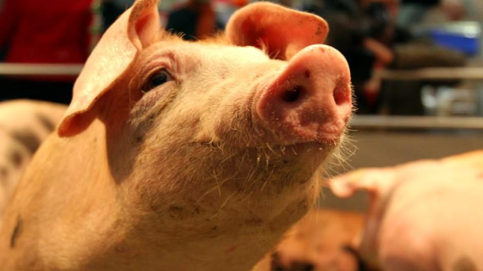 Welches Schweinderl hätten'S denn gerne? Dem Vegetarier wäre ein Phantomschwein am liebsten. Aber das hat die Berliner Grüne Woche nicht zu bieten