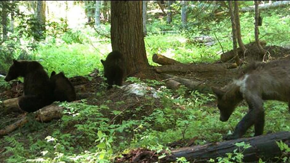 Besonders wenn sie Junge aufziehen, sind Bärenmütter leicht reizbar. Unser Foto zeigt eine Wildkamera-Aufnahme vom Juli 2021 an der Grenze zwischen den US-Bundesstaaten Washington und Idaho.