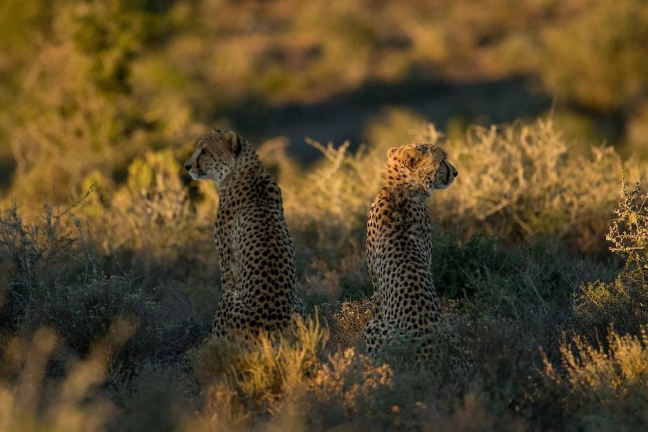 Eigentlich sind Geparden Einzelgänger.
