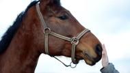 Das Pferd kennt man als Freund und Sportgerät, das Rind eher vom Teller.