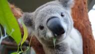 Nähen für Koala-Pfoten
