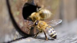 Das geistige Leben der Bienen