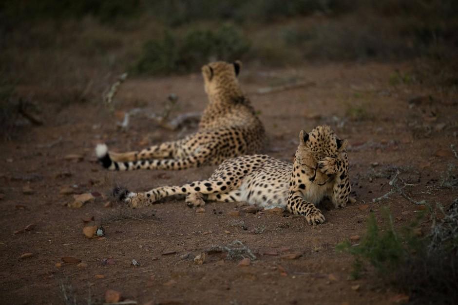 Trügerische Ruhe: Geparden beißen der Beute blitzschnell die Kehle durch, damit sie ohne den verräterischen Todesschrei stirbt, der Löwen und Hyänen anlocken könnte.