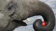 Auch für Elefanten sind Äpfel gesund.